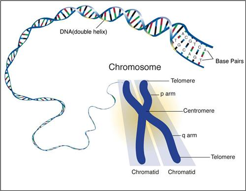 Chromosome Structure