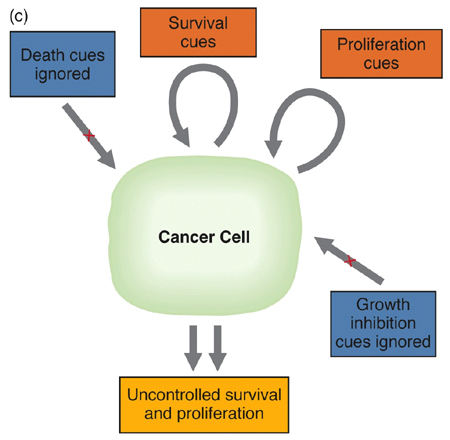 cancer cell growth factors