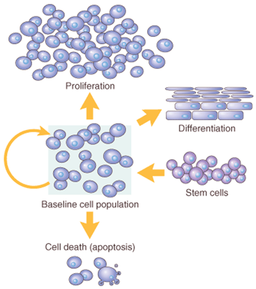 normal cell growth