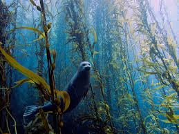 Disruption of the Kelp Forests Ecosystem
