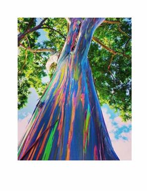 Rainbow Eucalyptus Tall Tree